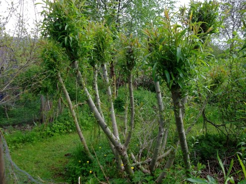 Pollarded Willow at Bealtaine Cottage