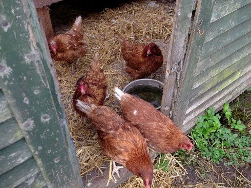 The hens at Bealtaine Cottage