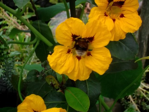 bees on Nasturtiums