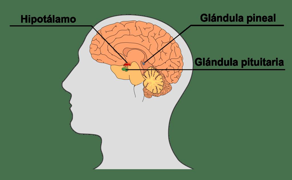 glandulapineal
