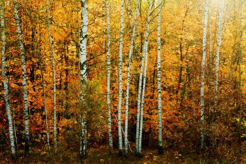 Summary of Birches by Robert Frost
