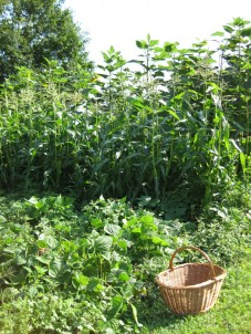 The garden in August, ready to harvest tomatoes, corn, cukes, beans, chard...