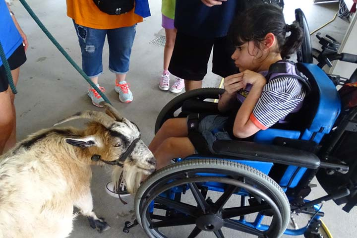 goat-wheelchair