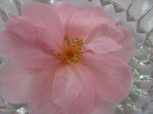 huge camellia (second, I think)