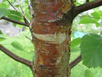 Orange bark in May