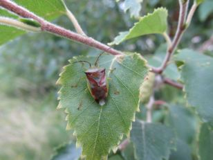 Birch shield bug, August