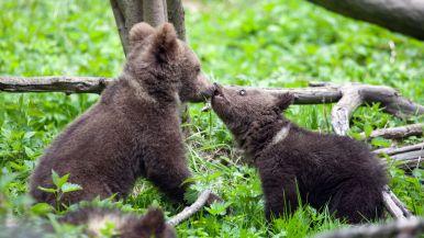 bearagain-footer-bear-cubs-playing