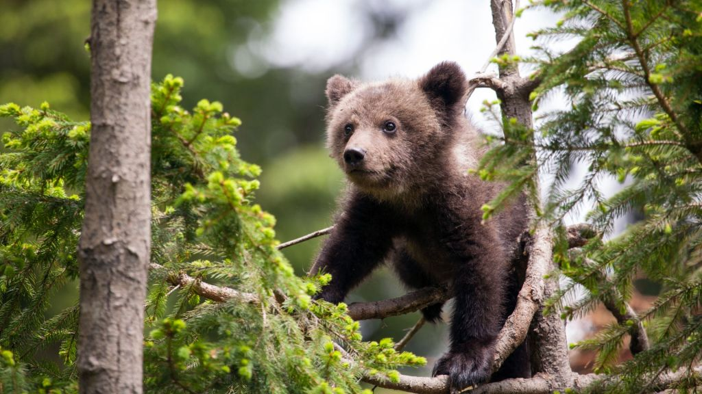 bearagain-blog-bear-cub-tree