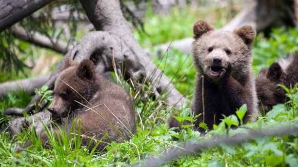 bearagain-homepage-bear-cubs-siesta