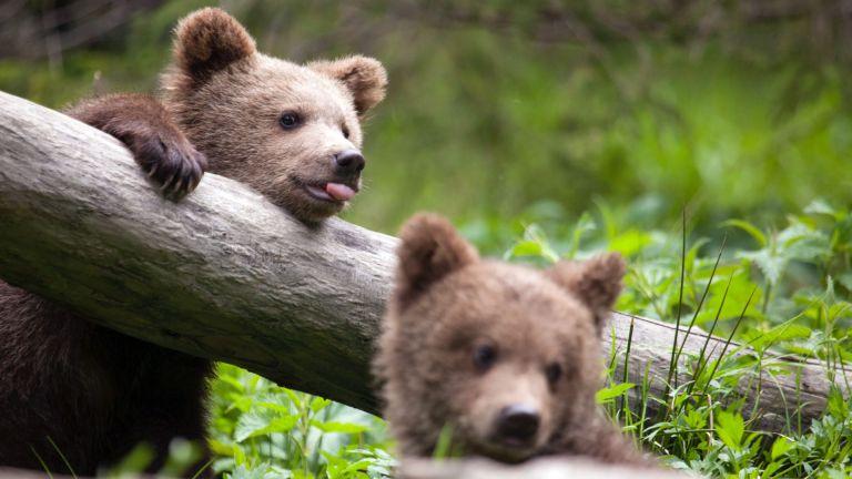 bearagain-homepage-bear-cubs