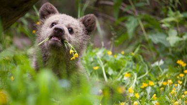 bearagain-visit-us-bear-cub-flowers
