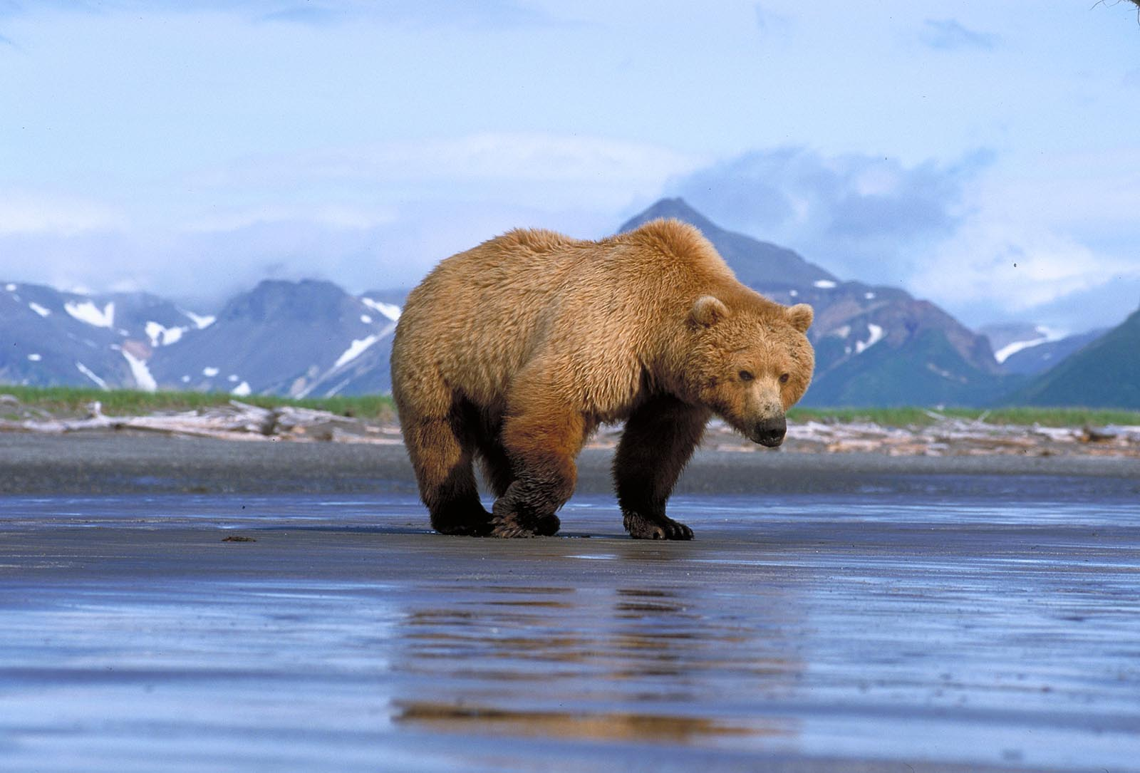 Brown Grizzly Bear Facts