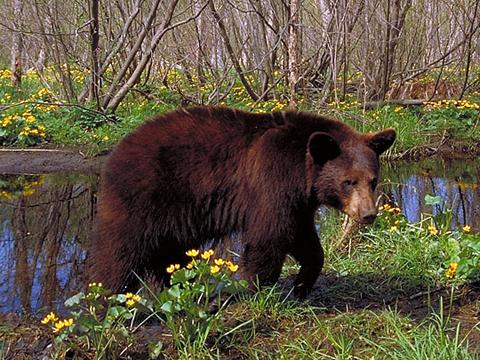 bear_marsh_marigolds.jpg
