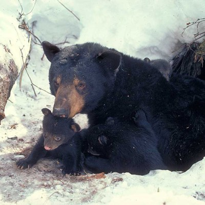 <h2> Cubs first look at the world</h2><p>Black bears do not produce cubs until they are 3 to 11 years old, depending upon food supply.   This mother first gave birth at age 7.  Here she is 10 with 3 cubs weighing 4½ to 5½ pounds.  She produced 12 cubs by the time she was shot at 18¾.  Black bears can live 30 years or more.  Life spans in hunted populations average 4 years.</p>