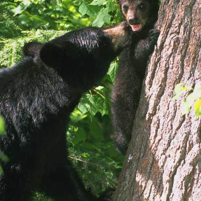 <h2>Cub on white pine</h2><p>Mothers make over 90 percent of their beds at the bases of big trees with strong, coarse bark.  If a predator appears, cubs can climb that bark more safely than they can climb smooth or flaky bark.</p>