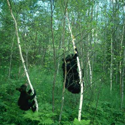 <h2>Mother and cub climbing birch trees for tent caterpillars</h2><p>This 146-pound mother ate 25,192 tent caterpillars in 24 hours-about 31 pounds or 7 gallons of them.  Tent caterpillars contain oxalic acid and have irritating hairs.  Few mammals or birds eat them, but black bears make them nearly their entire diet in June in years of outbreaks.</p>
