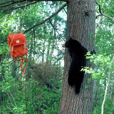 <h2>Climbing white pine to get backpack</h2><p>In years when nut, acorn, and berry crops fail, black bears are as quick as chipmunks to substitute human food.  They prefer natural food, though, and they return to their wild diet the next year if natural food is available.</p>