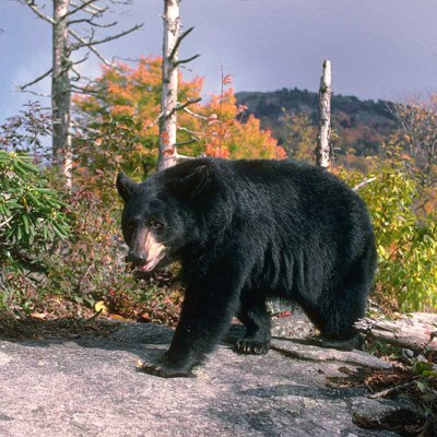 <h2>4½-year-old female on patrol</h2><p>Black bear females often have territories of 2 to 4 square miles. Males roam 20 to 100 square miles or more to find food and females. Home ranges of males overlap with the ranges of other males and with the territories of females.</p>