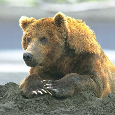 <h2>Protecting a food cache</h2><p>Grizzly bears sometimes attack to protect cubs or food caches. However, this mild-mannered coastal grizzly seemed to ignore people as he ate 6 chum salmon, buried a 7th weighing about 10 pounds, and rested on the cached fish.</p>