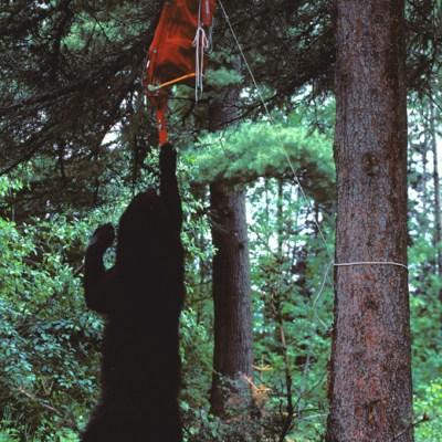 bear_standing_reaching_for_backpack.jpg