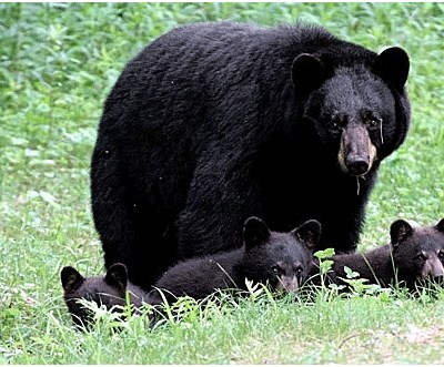 black_bear_w_5_cubs_nh_june_2007.jpg