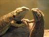 Should You Own More than One Beardie?