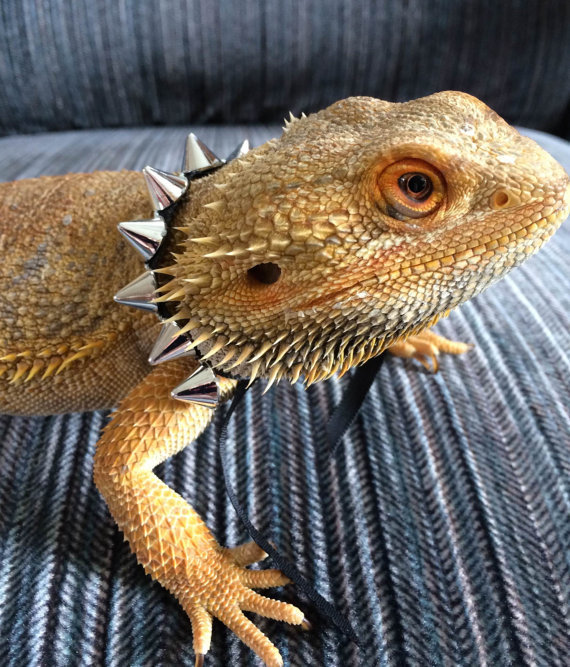 spike-collar-for-bearded-dragons