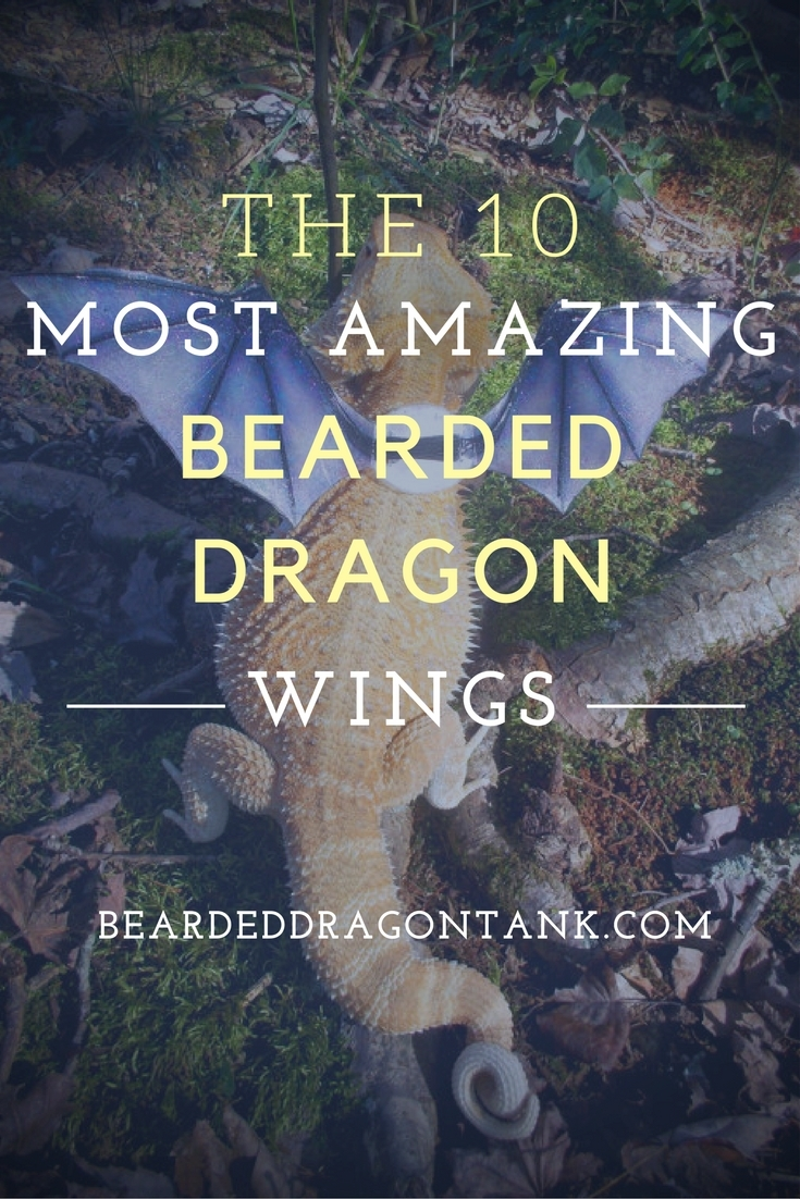 the-10-most-amazing-bearded-dragon-wings