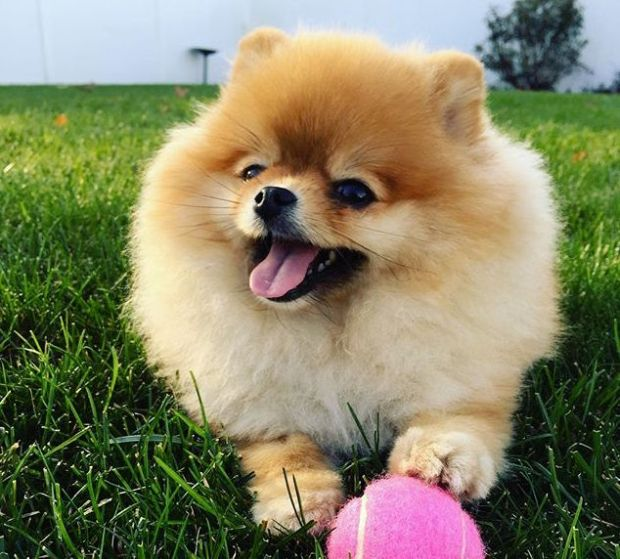 dc01dbcae0abdfd8e7a1d8b01e0caf56--german-spitz-its-a-beautiful-day.jpg
