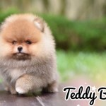Teddy Bear Teacup Pomeranian Puppies For Sale