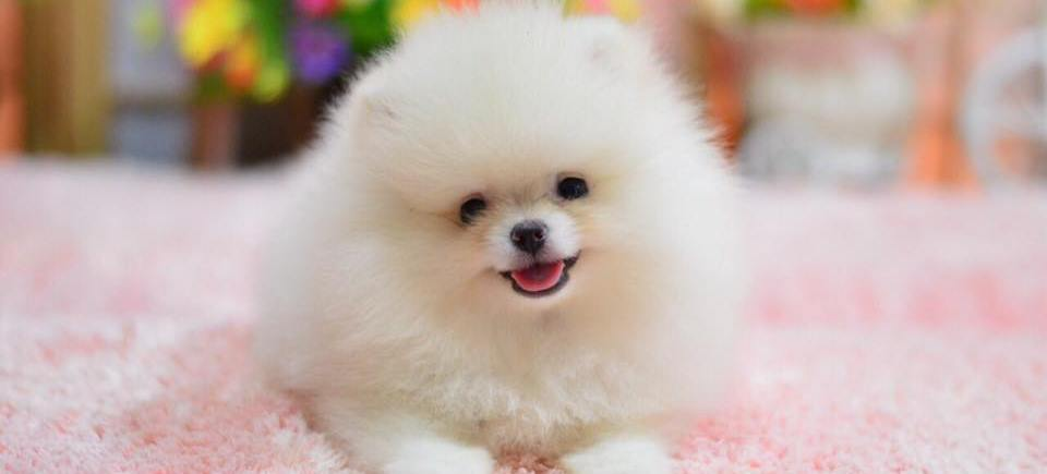 Purchasing Process: — Teacup Pomeranian Puppies For Sale
