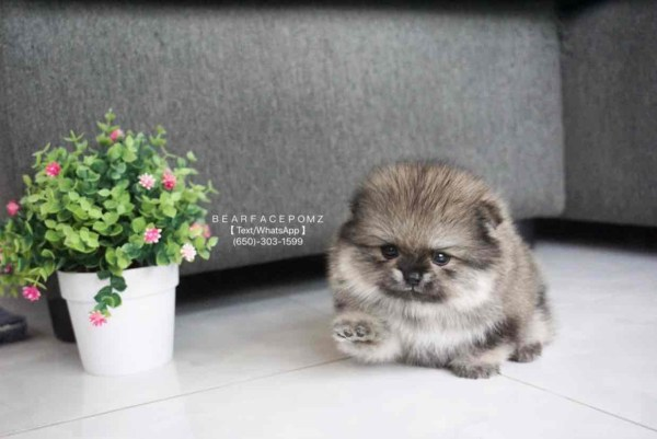 grey Pomeranian puppy