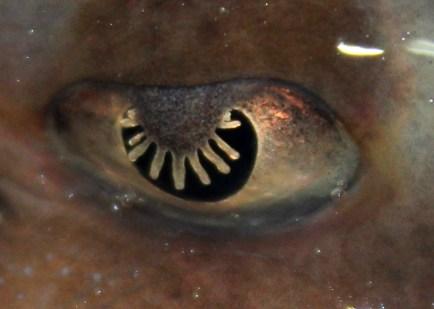 Skate eye