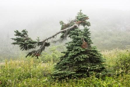 Spruce Tree, BC