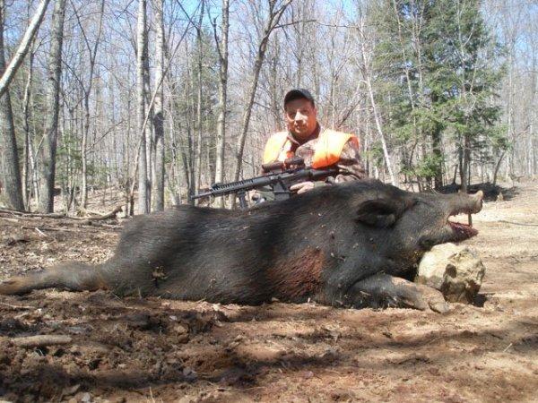 boars hunting