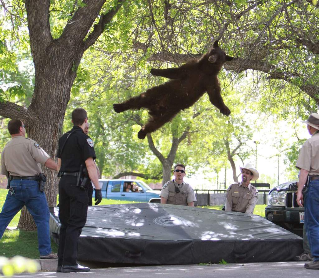 A tranquilized black bear falls from a tree after wandering onto CU Boulder's campus in April 2012. Photo © CU Independent/Andy Duann