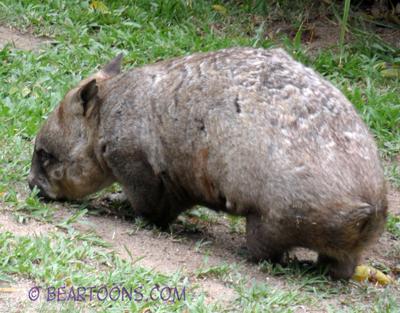 Wombat-Bearman-Cartoons