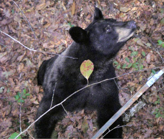 Bear Looking Up At Deer Tree Stand
