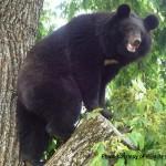 Asiatic Black bear e Wild
