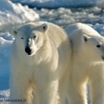 Polar bears b Roy deHaas
