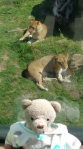 My new lion friends