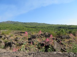 Pretty flowers on Etna