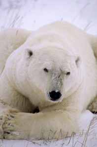 Large male polar bear showing scars from battle