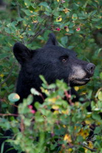 Black Bear in Waterton National Park - © Pedro H C Pinheiro - Fotolia.fr
