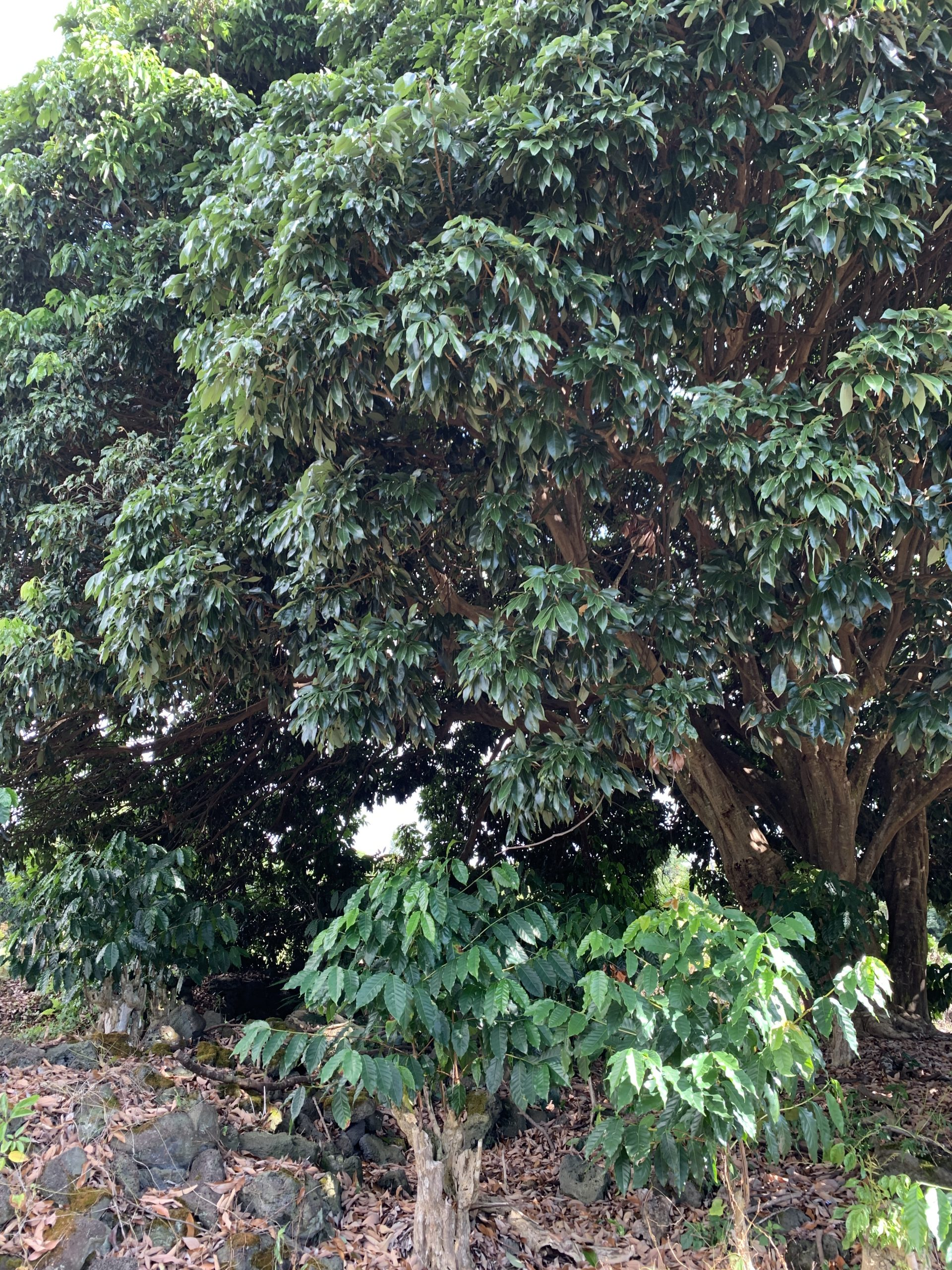 Large lychee with coffee trees in its shade.