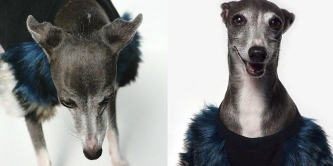 eye of dog - fluffy - model DARCO