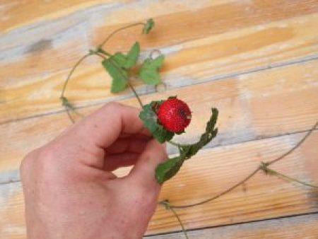 falsche Erdbeere