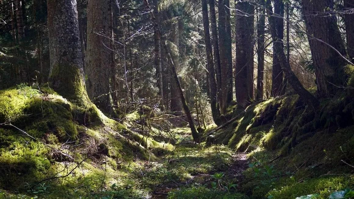 Borjomi forest floor