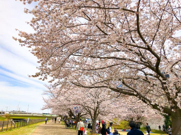 新横浜駅前公園の桜