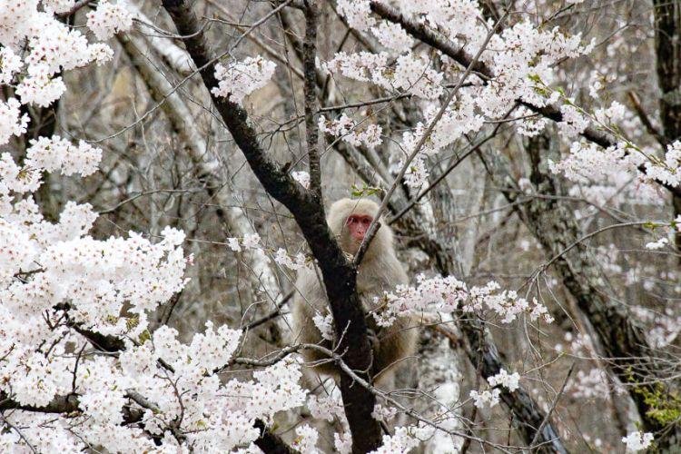 桜を食べる猿